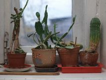 Stunted cactuses in pots. On the window sill, indoor close-up royalty free stock photo