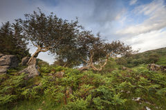Stunted Mountain Ash on Skye in Scotland. Royalty Free Stock Image