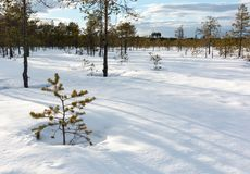 Stunted small pine at a bog in spring. Stunted small pine at a snowy Nordic bog in spring royalty free stock images