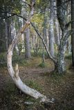 Stunted tree at Abernethy Forest in the Cairngorms National Park of Scotland. Stock Image