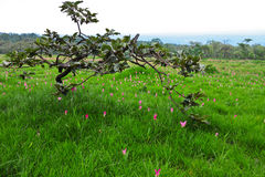 Stunted tree and field of Siam tulip in Thailand Stock Photo