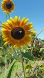 Stuntel Bij bestuift de Zonnebloemgebieden Royalty-vrije Stock Afbeelding