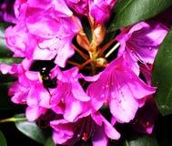 Stuntel bij die een bloem bestuiven royalty-vrije stock fotografie