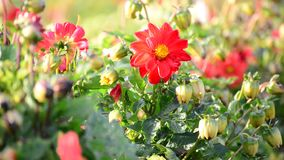 Stuntel bij die een bloem van dahlia bestuiven stock videobeelden