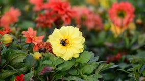 Stuntel bij die een bloem van dahlia bestuiven stock video