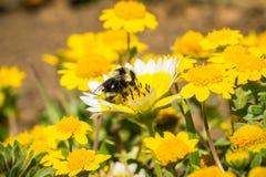 Stuntel bij die kustplatyglossa van Layia van tidytipswildflowers, Mori Point, Pacifica, Californië bestuiven stock foto's