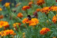 Stuntel bij die over heldere oranje bloem op bloembed vliegen royalty-vrije stock fotografie