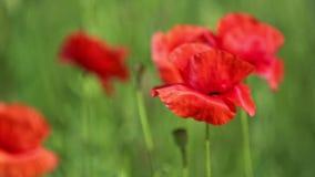 Stuntel Bij en Wilde Rode Poppy Flower op het Weidegebied, Lentetijd stock videobeelden