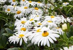Stuntel bij genietend van een bloembed van madeliefjes royalty-vrije stock fotografie