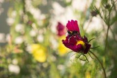 Stuntel bij met stuifmeel wordt geladen bestuift purpere bloem die Stock Foto