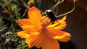 Stuntel bij op een oranje bloem Stock Foto