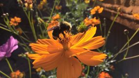 Stuntel bij op een oranje bloem Stock Fotografie