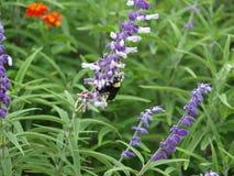Stuntel Bij op een Wildflower Royalty-vrije Stock Afbeeldingen