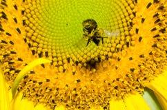 Stuntel bij op een zonnebloem Royalty-vrije Stock Fotografie