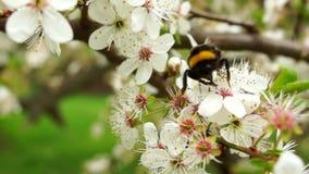 Stuntel bij op kersenboom stock videobeelden