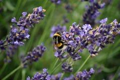 Stuntel bij op lavendelstruik royalty-vrije stock fotografie