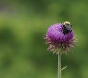 Stuntel Bijen, stuntel Bij (het ondubbelzinnig maken) stock afbeelding