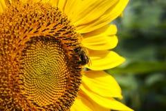Stuntel bijenbestuiving op zonnebloem stock afbeelding