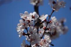 Stuntelt de takje tot bloei komende abrikoos en bijen Royalty-vrije Stock Fotografie