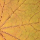 Stupad guld- gul lönnlövtexturmodell, bakgrund för abstrakt begrepp för herbarium för tappning för höstnedgånggrunge, stort detal Arkivfoto