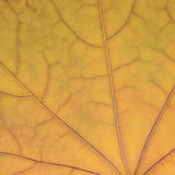 Stupad guld- gul lönnlövtexturmodell, bakgrund för abstrakt begrepp för herbarium för tappning för höstnedgånggrunge, stort detal Royaltyfria Bilder