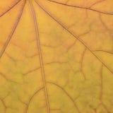 Stupad guld- gul lönnlövtexturmodell, höstnedgång Royaltyfria Foton