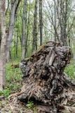Stupad rutten stam av ett massivt träd arkivbild
