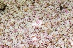 stupad vit och rosa blomning av Viburnumväxten royaltyfria foton