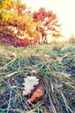 Stupade färgrika lönnlöv som ligger på gräset Fotografering för Bildbyråer