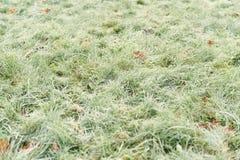 Stupade frostade höstlönnlöv på gräs Royaltyfri Fotografi