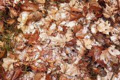 Stupade höstsidor med visare av julgranar under den första snön textur royaltyfria foton