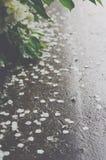 Stupade jasminkronblad efter regnet royaltyfri bild