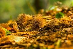 Stupade kastanjer på de bruna bladen Arkivbilder
