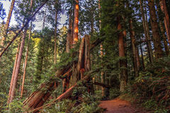 Stupade redwoodträd Royaltyfria Foton