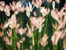 Stupade ris i fältet royaltyfri bild