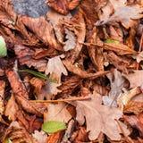 Stupade sidor av kastanjen, lönn, ek, akacia Brunt rött, apelsinen och gren Autumn Leaves Background Royaltyfri Fotografi