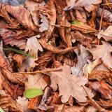 Stupade sidor av kastanjen, lönn, ek, akacia Brunt rött, apelsinen och gren Autumn Leaves Background Fotografering för Bildbyråer
