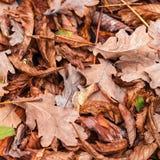Stupade sidor av kastanjen, lönn, ek, akacia Brunt rött, apelsinen och gren Autumn Leaves Background Arkivbilder