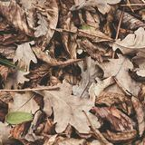 Stupade sidor av kastanjen, lönn, ek, akacia Brunt rött, apelsinen och gren Autumn Leaves Background soft för fält för färgpildju arkivbilder