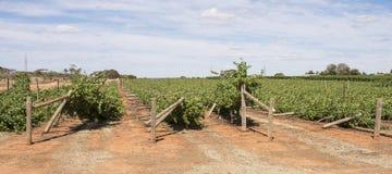 Stupade stolpar på rader av Chardonnay vinrankor Royaltyfri Foto
