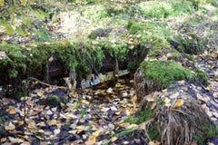 Stupade träd i skogen Arkivfoto