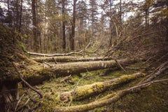 Stupade träd i urtids- skog Arkivfoton
