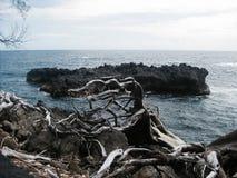 Stupade träd vid havet, stor ö, Hawaii royaltyfri fotografi