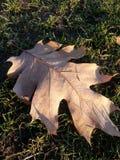 Stupat blad på parkera i höst Royaltyfria Bilder