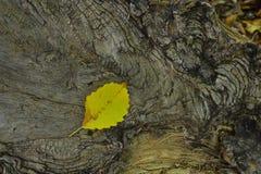Stupat gult blad på ett kluvet träd royaltyfria bilder