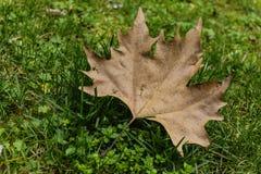 Stupat lönnbruntblad i parkera Fotografering för Bildbyråer