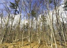 Stupat over för högväxt träd i en skog som lutar på vinkeln mot othe Arkivbild