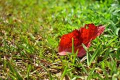 Stupat rött blad på gräsfältet royaltyfri fotografi