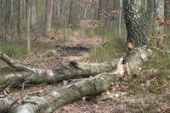 Stupat ruttet björkträd arkivfoton