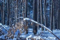 Stupat sörja på en suddig bakgrund av en mystisk skog med högväxta träd Royaltyfria Bilder